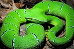 Waglers pit viper, Temple viper (Tropidolaemus wagleri)